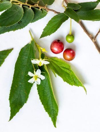 jamaica cherry tree close up display leaves, flower and berries